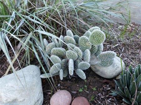 """""""Bunny Ears"""" cactus, Opuntia microdasys"""
