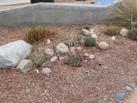 1. Dasylirion wheeleri 2. Eriogonum grande rubescens 3. Leymus condensatus 4. Muhlenbergia rigens